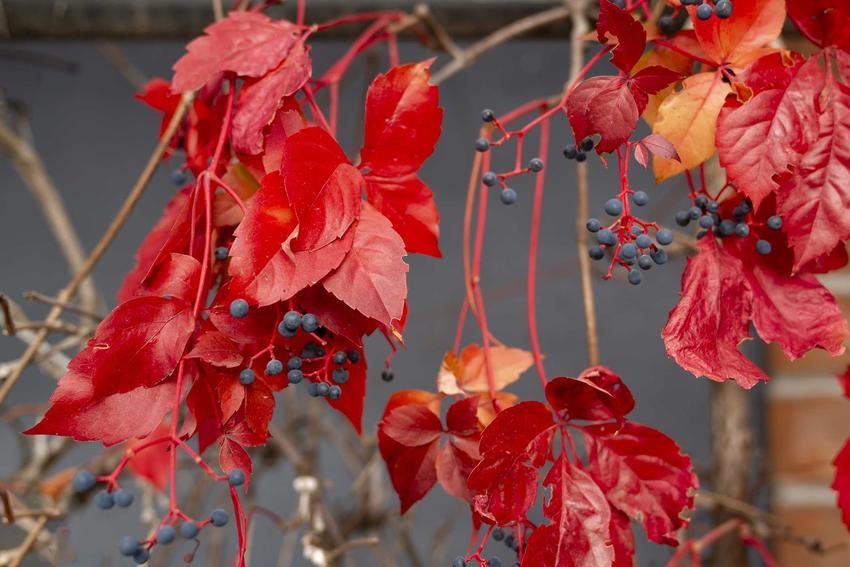 Czerwone liście dzikiego wina, winobluszczu i granatowe owoce, a także charakterystyka, zdjęcia, sadzenie, pielęgnacja i uprawa