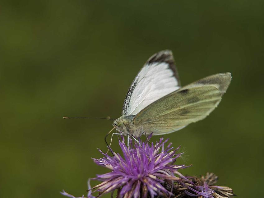 Bielinek kapustnik na kwiecie ostu, a także TOP 5 najbardziej znanych gatunków motyli krok po kroku