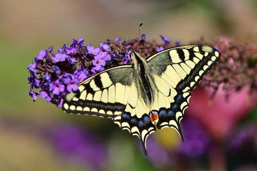 Paź królowej na macierzance, a także TOP 5 gatunków motyli, które są najbrdziej znane w Polsce