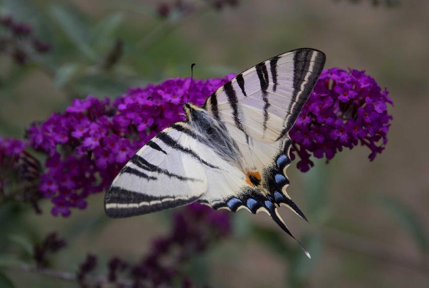 Paź żeglarz o biało-czarnych skrzydełkach na macierzance, a także TOP 5 gatunków motyli znanych w Polsce