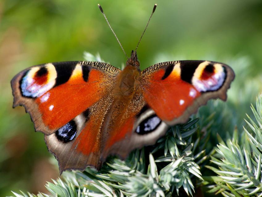 Rusałka pawik o pięknych skrzydełkach, a także TOP 5 gatunków popularnych i znanych w Polsce
