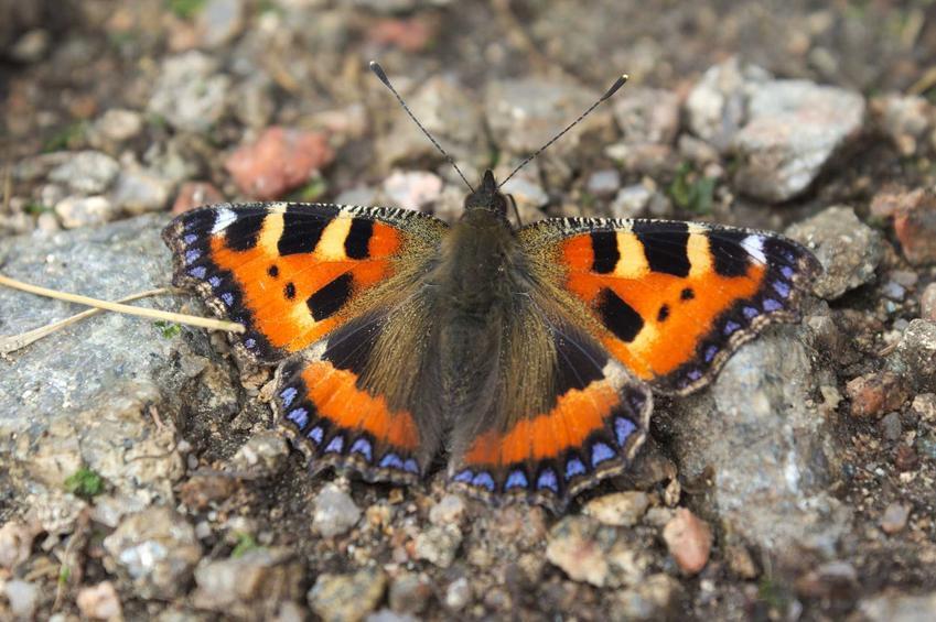 Rusałka pokrzywnik krok po kroku, czyli TOP 5 gatunki motyli, które są popularne i znane w Polsce