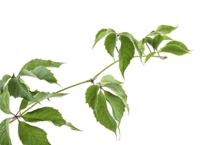 Liście winobluszczu zaroślawego na gałązce, a także winobluszcz zaroślawy, opis, uprawa, pielęgnacja oraz wymagania
