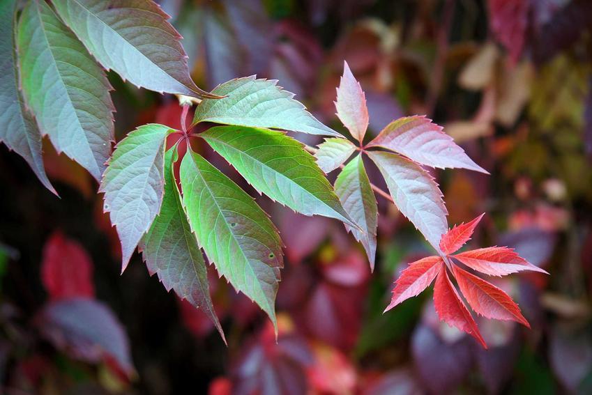 Winobluszcz jesienią podczas przebarwiania się listków na czerwono, a także winobluszcz zaroślawy, opis, wymagania oraz uprawa