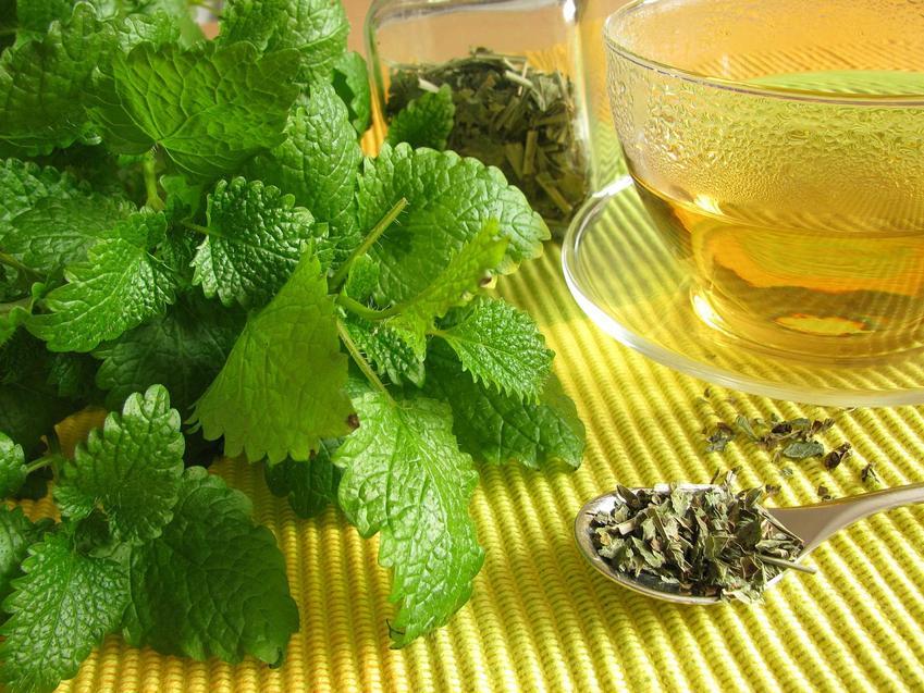 Herbatka z suszonej i świeżej melisy lekarskiej, a także uprawa i pielęgnacja, właściwości, zastosowanie i sadzenie