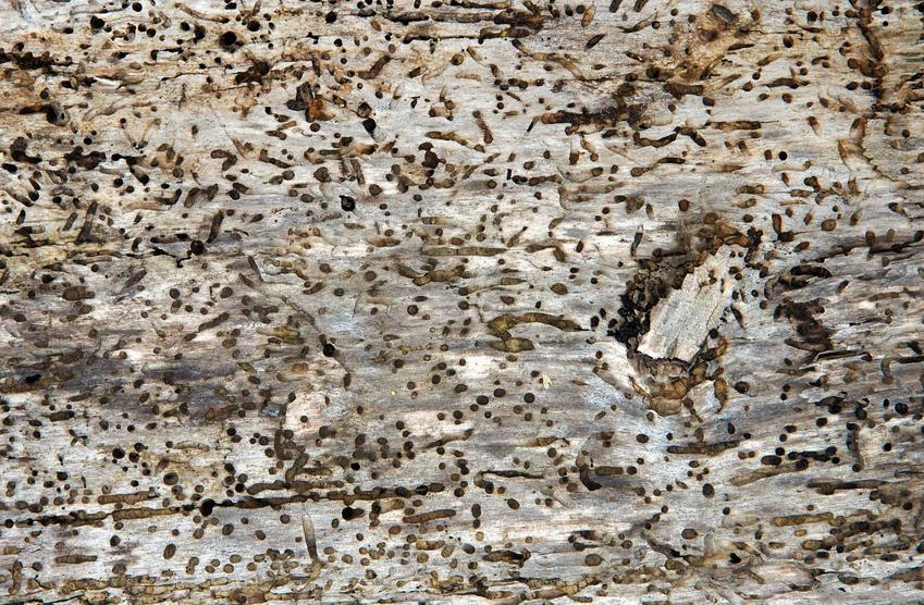 Zniszczony kawałek drewna przez kołatka domowego, a także opis szkodnika, występowanie, szkodliwość i jak zwalczyć szkodnika kołatek domowy