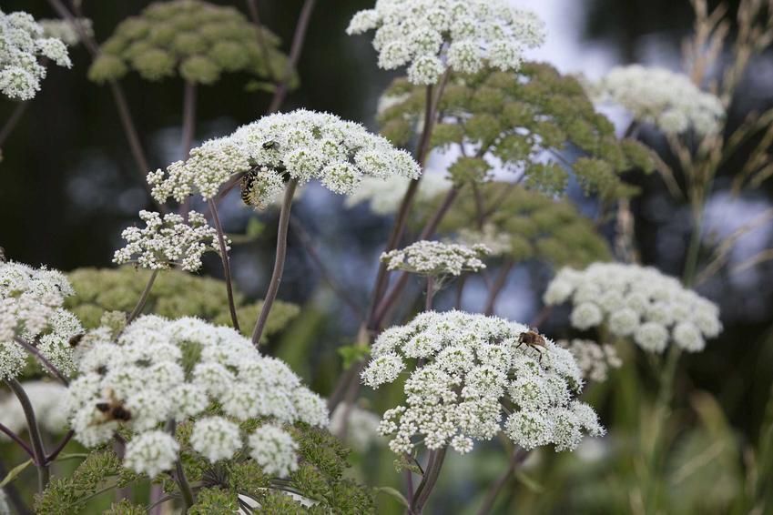 Dzięgiel w czasie kwitnienia, czyli charakterystyka rośliny arcydzięgiem, występowanie, zwalczanie oraz właściwości lecznicze