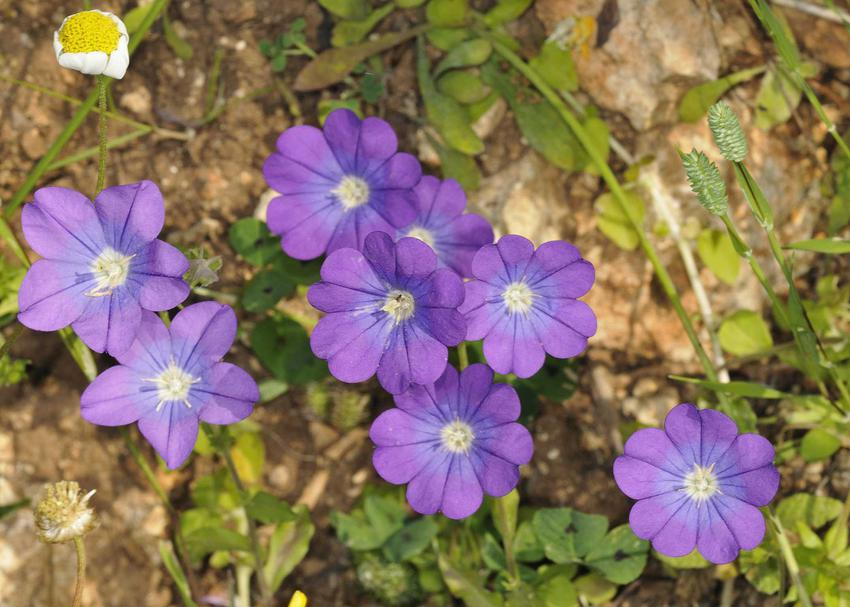Zwrotnica o delikatnie fioletowych kwiatach, a także charakterystyka, występowanie, uprawa oraz pielęgnacja rośliny w ogrodzie