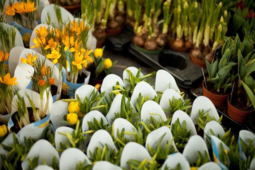 Rośliny wiosenne w markecie na paletach, a także na co zwrócić uwagę podczas kupowania roślin w markecie