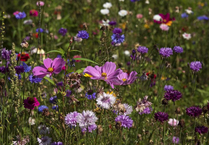 Łąka kwietna z kwitnącymi onętkami, a także wysiew, sadzenie, rodzaje roślin, pielęgnacja oraz uprawa