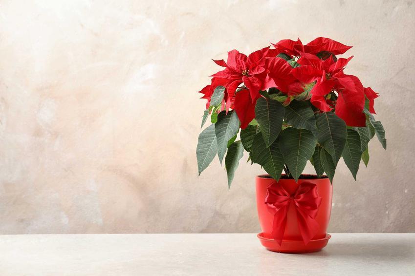 Wilczomlecz nadobny o czerwonych liściach w doniczce, czyli gwiazda betlejemska, a także opis, wymagania oraz uprawa rośliny krok po kroku