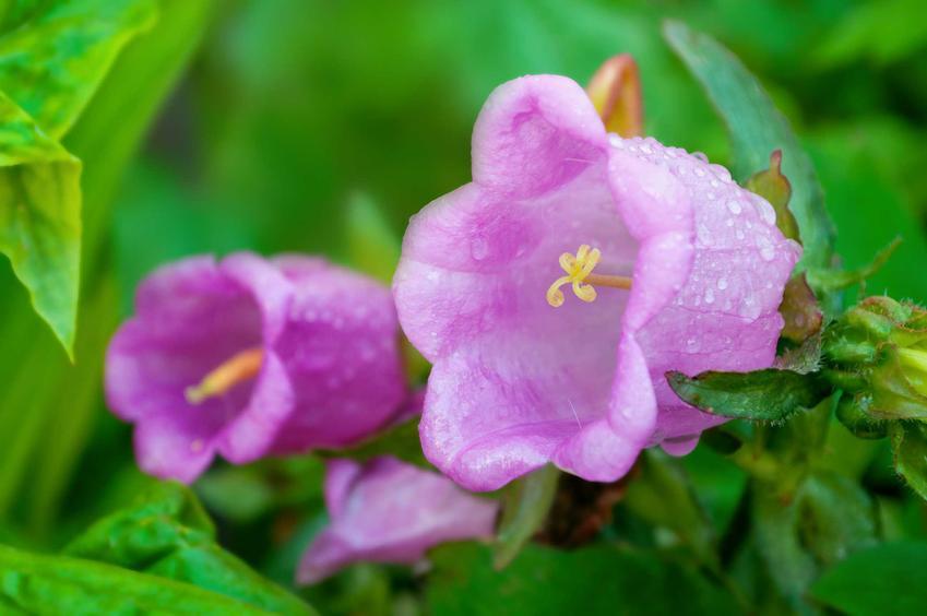 Kwiaty dzwonka ogrodowego Campanula oraz dzwonek ogrodowy w uprawie, pielęgnacja, wymagania oraz sadzenie