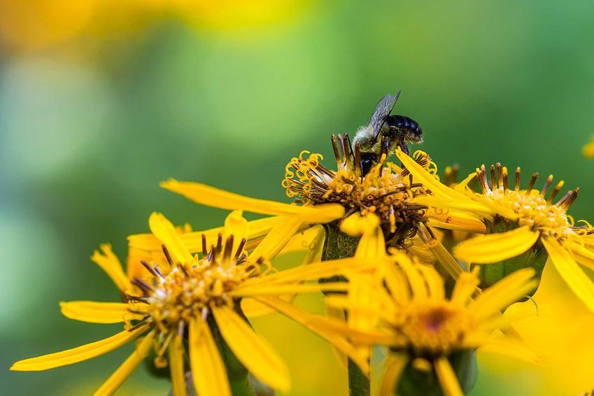 Kwiaty języczki pomarańczowej, na których posila się pszczoła, a także opis roślin, uprawa i pielęgnacja oraz najciekawsze zdjęcia