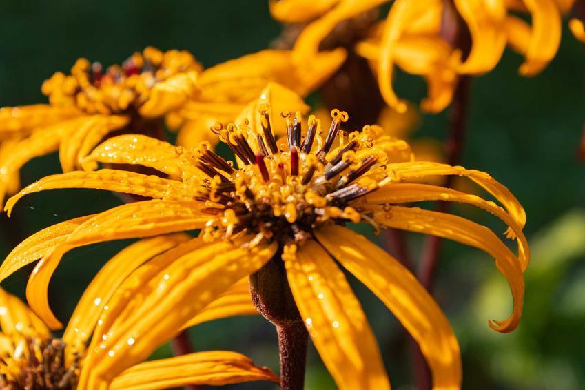 Języczka pomarańczowa z bliska w czasie kwitnienia, a także opis i pielęgnacja, uprawa oraz wymagania rośliny