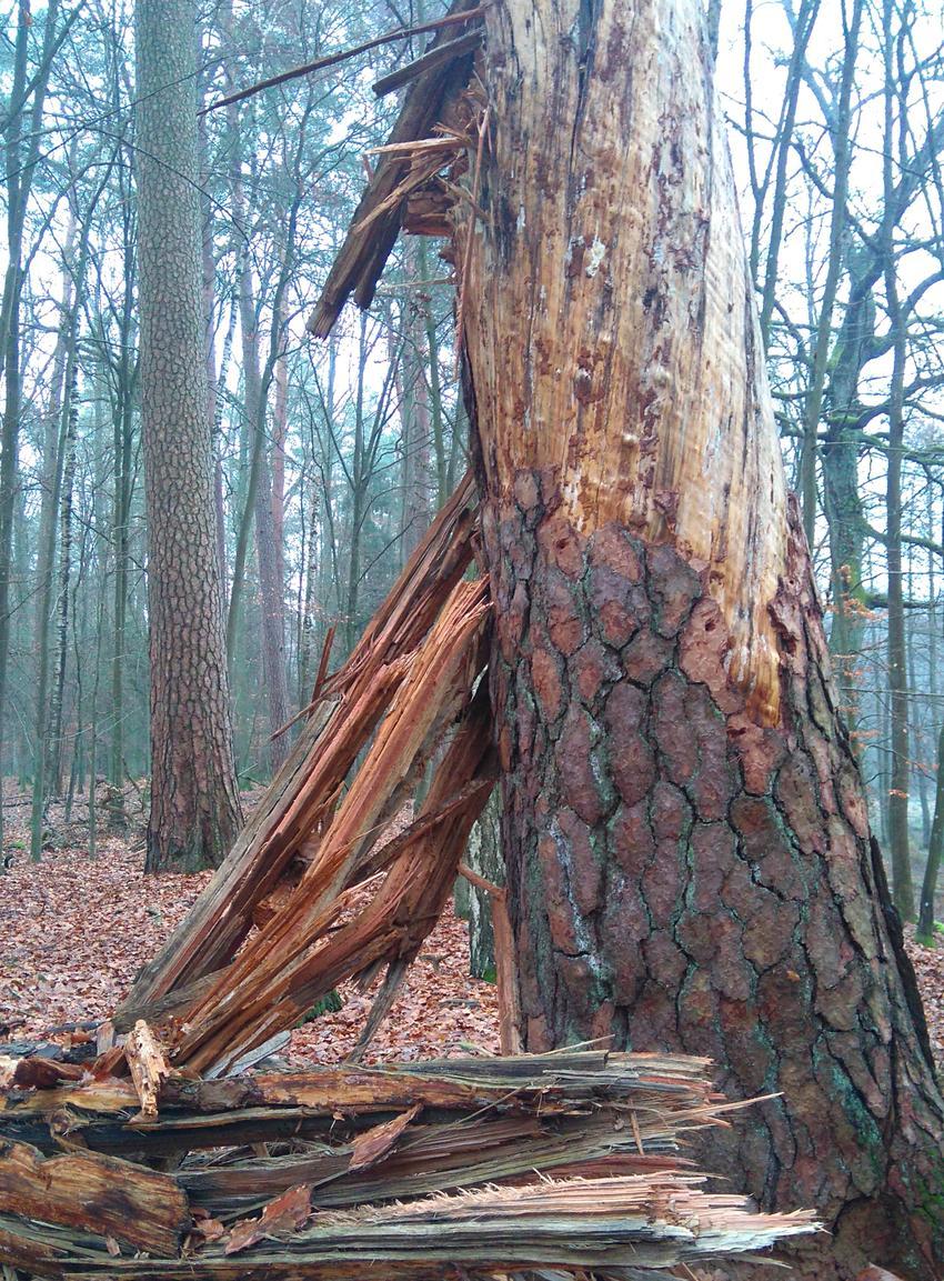 Proces obumierania drzew i próchnienia drewna krok po kroku, czyli jak chorują i obumierają drzewa