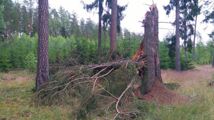 Drzewa w lesie, w tym przecięte drzewo iglaste, a także informacje, jak chorują i obumierają drzewa