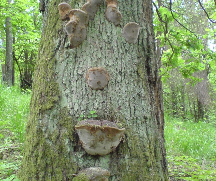 Narośle grzybowe na drzewie w lesie, a także życie i choroby drzew w lesie i w ogrodzie - jak to rozpoznać