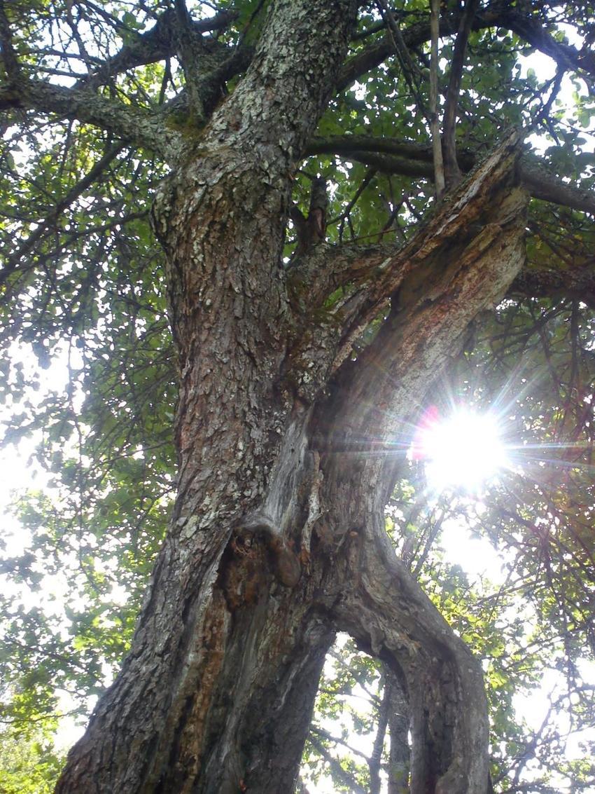 Korona drzewa, przez którą prześwieca słońce, a także informacje o tym, jak chorują i umierają drzewa