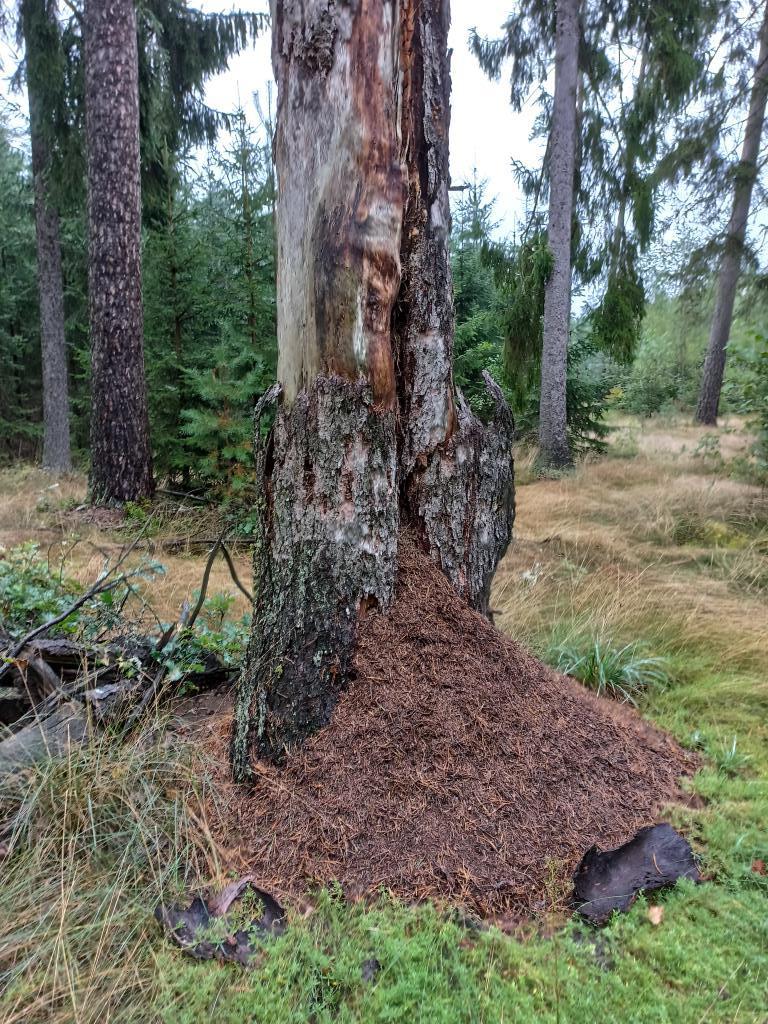 Drzewo podgryzane przez mrówki, a także jak chorują i umierają drzewa w lesie oraz choroby drzew