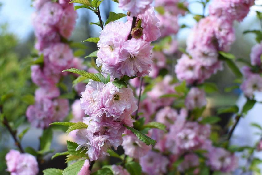 Kwiaty migdałka wiosną, a także przycinanie migdałka, porady, sposoby oraz terminy do cięcia