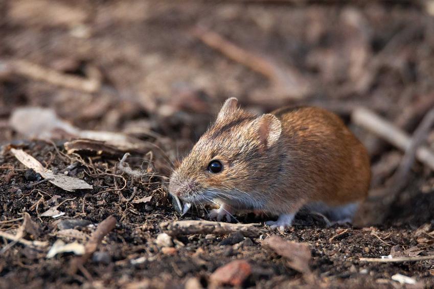 Mysz schowana w ogrodzie, a także odstraszacz na myszy krok po kroku, czyli działanie, skuteczne rodzaje odstraszaczy, zastosowanie