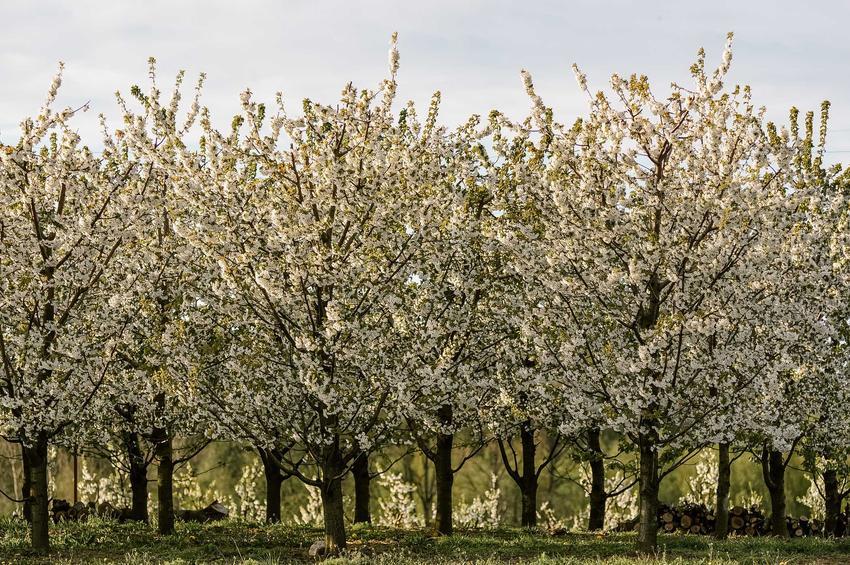 Drzewa owocowe w sadzie podczas kwitnienia opryskane środkiem Kaptan, a także jego zastosowanie oraz działanie
