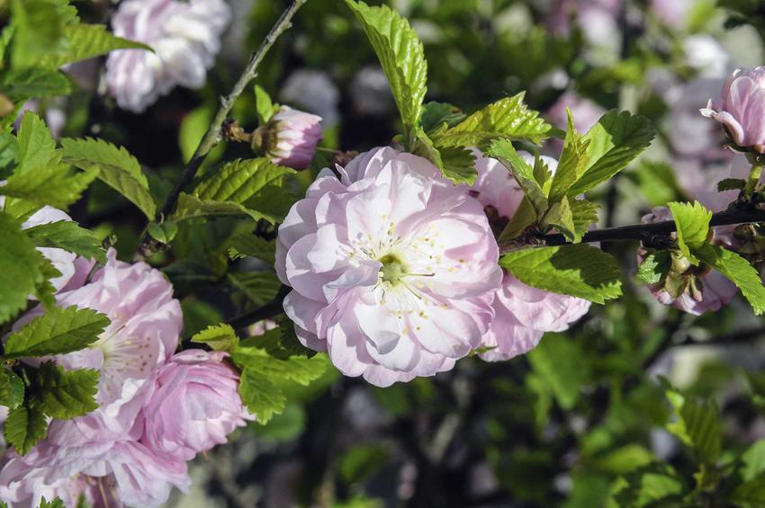 Delikatne różowe kwiaty migdałka oraz migdałek szczepiony na pniu, pielęgnacja, uprawa oraz stanowisko