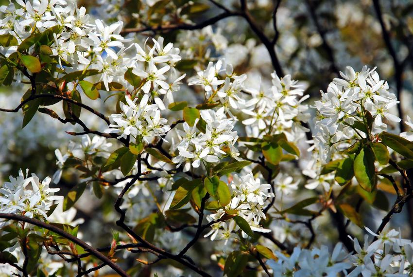Świdośliwa o drobnych białych kwiatach, a także świdośliwa lamarcka bez tajemnic - opis, zastosowanie, sadzenie, pielęgnacja