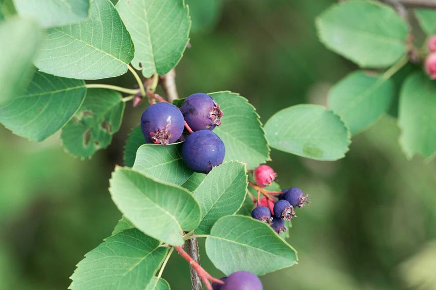 Owoce i ciekawe zielone liście świdośliwy olcholistnej w ogrodzie, a także wymagania, sadzenie i pielęgnacja rośliny