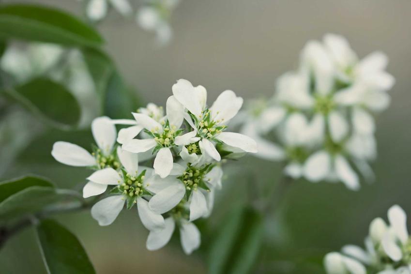 Białe kwiaty świdośliwy olcholistnej oraz opis rośliny, wymagania i sadzenie w ogrodzie, a także pielęgnacja