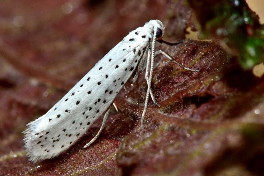 Motyl namiotnik, czyli szkodnik roślin warzywnych, a także rozpoznawanie, występowanie i zwalczanie