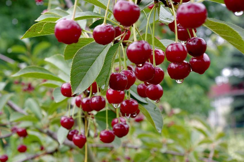 Wiśnia groniasta o czerwonych owocach, a także opis odmiany, wymagania, uprawa i porady