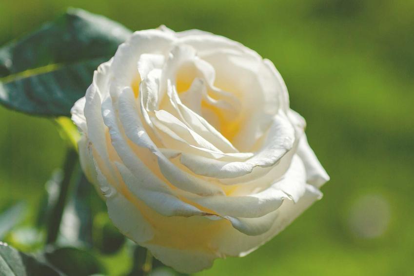 Kwiat biało-kremowej róży Chopin, a także charakterystyka odmiany, uprawa, sadzonki i ceny