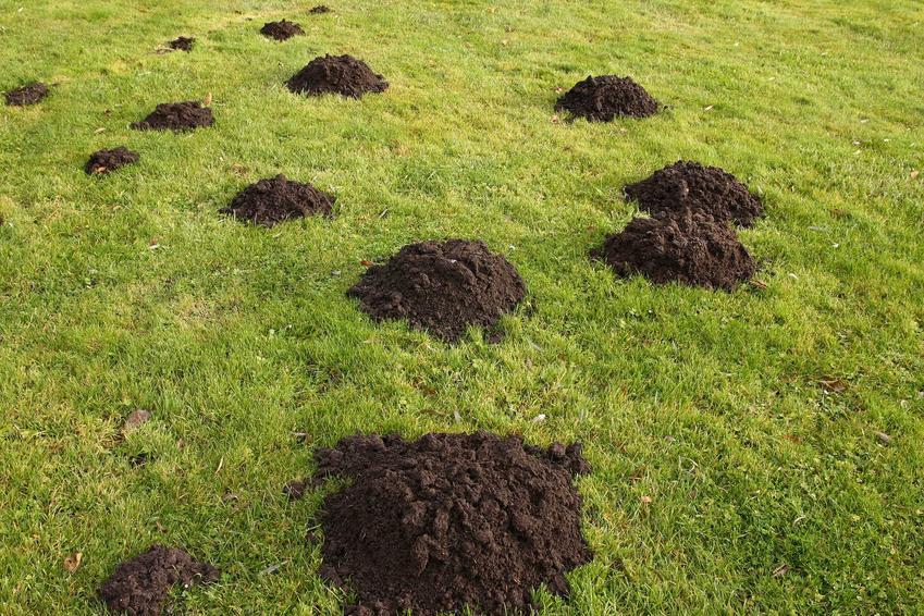 Kopce wykopane przez kreta na trawniku, a także działanie solarnego odstraszacza kretów, rodzaje, ceny i sposób działania