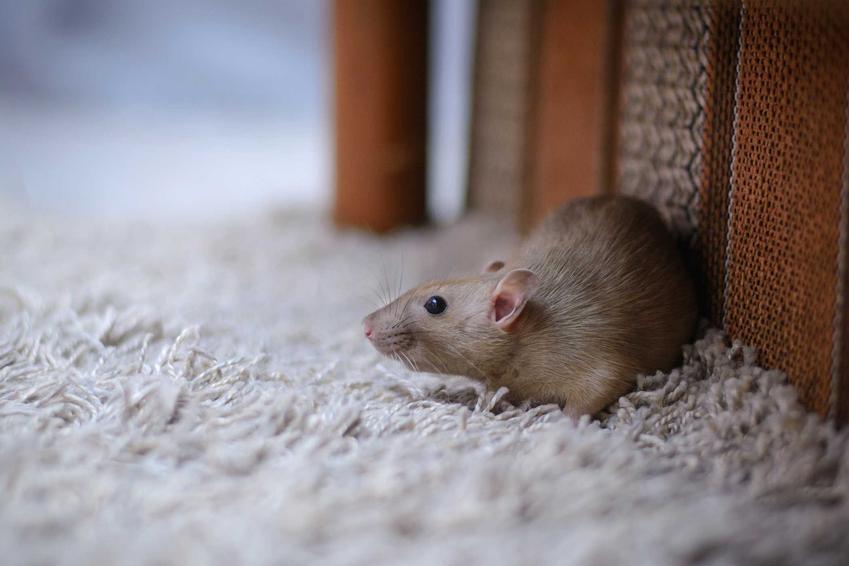 Mysz w domu, a także zastosowanie elektrycznego odstraszacza myszy, rodzaje urządzeń, działanie krok po kroku