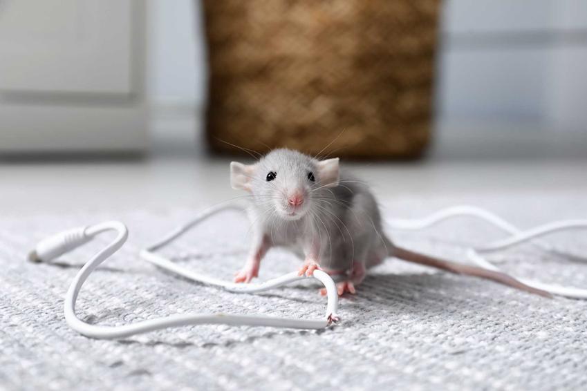 Mysz, która przegryzła kabel, a także elektryczny odstraszacz na myszy krok po kroku - rodzaje i działanie