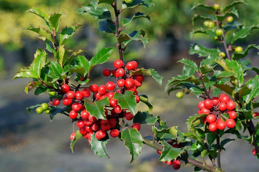 Czerwone owoce ostrokrzewu Maservy jesienią, a także opis gatunku, uprawa i pielęgnacja rośliny