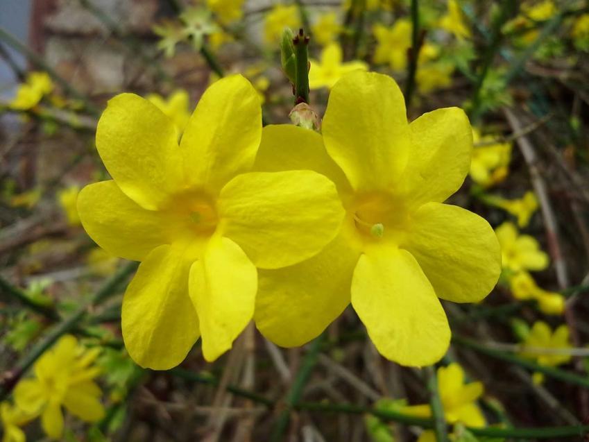 Drobne żółte kwiaty jaśminu nagokwiatowego, a także opis gatunku, uprawa oraz pielęgnacja w ogrodzie
