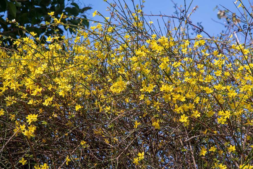 Krzew jaśminu nagokwiatowego w ogrodzie w czasie kwitnienia, a także jaśmin nagokwiatowy krok po kroku, opis, pielęgnacja i uprawa