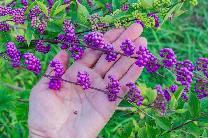 Fioletowe owoce pięknotki Bodiniera na dłoni, a także charakterystyka, wymagania i sadzenie