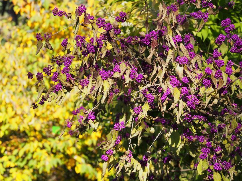 Krzew pięknotki Bodiniera o fioletowych owocach, a także charakterystyka, wymagania, sadzenie oraz pielęgnacja
