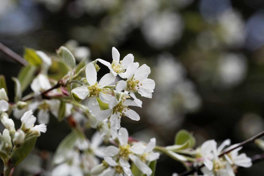 Białe kwiaty świdośliwy drzewiastej w ogrodzie, a także opis, wymagania oraz porady dla ogrodników