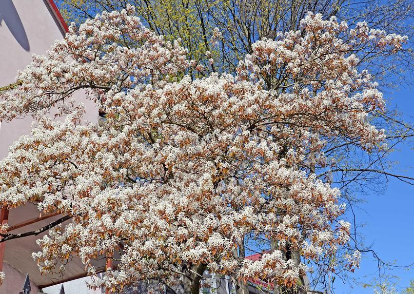 Kwitnąca świdośliwa kanadyjska w ogrodzie, a także charakterystyka rośliny, wymagania, sadzenie oraz pielęgnacja