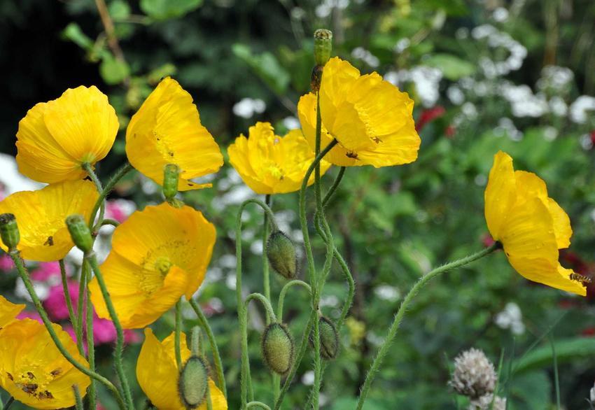 Żółte maki nadłodygowe w ogrodzie, a także opis gatunku mak syberyjski, pochodzenie, pielęgnacja, uprawa