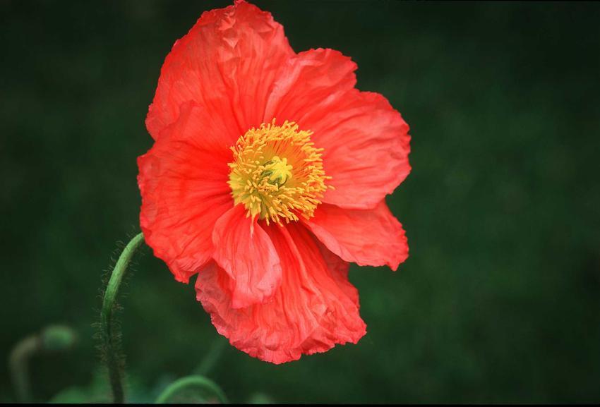 Mak nadłodygowy o czerwonych płatkach, a także pochodzenie, sadzenie, pielęgnacja oraz uprawa