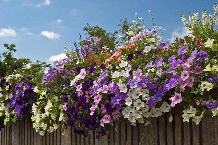 Petunie o białych i fioletowych kwiatach zwisających kaskadowo na płocie, a także rodzaje, wmagania oraz stanowisko dla petunii