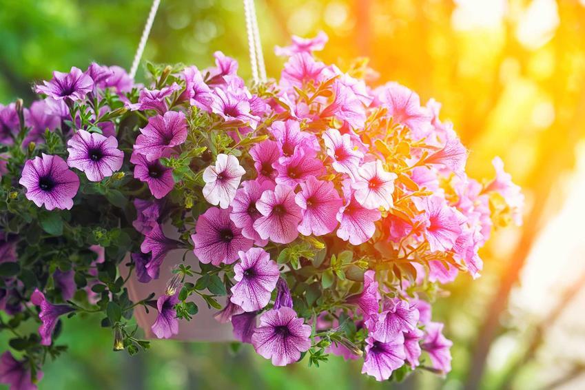 Petunia zwisająca o fioletowych kwiatach w podwieszanej doniczce na balkonie, a także rodzaje petunii, wymagania oraz stanowisko