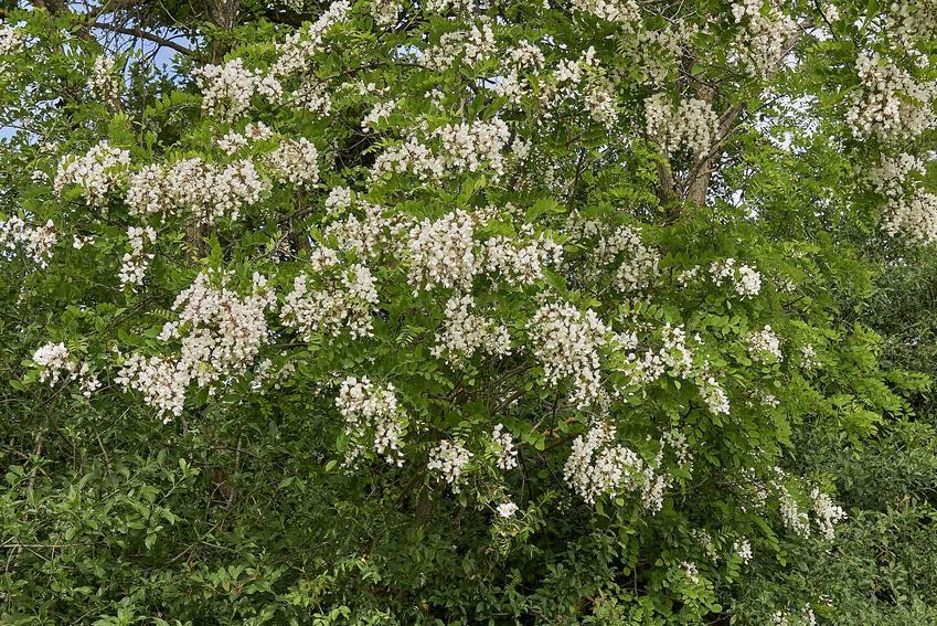 Robinia biała w ogrodzie, czyli robinia akacjowa, a także pielęgnacja, przycinanie, sadzenie oraz wymagania