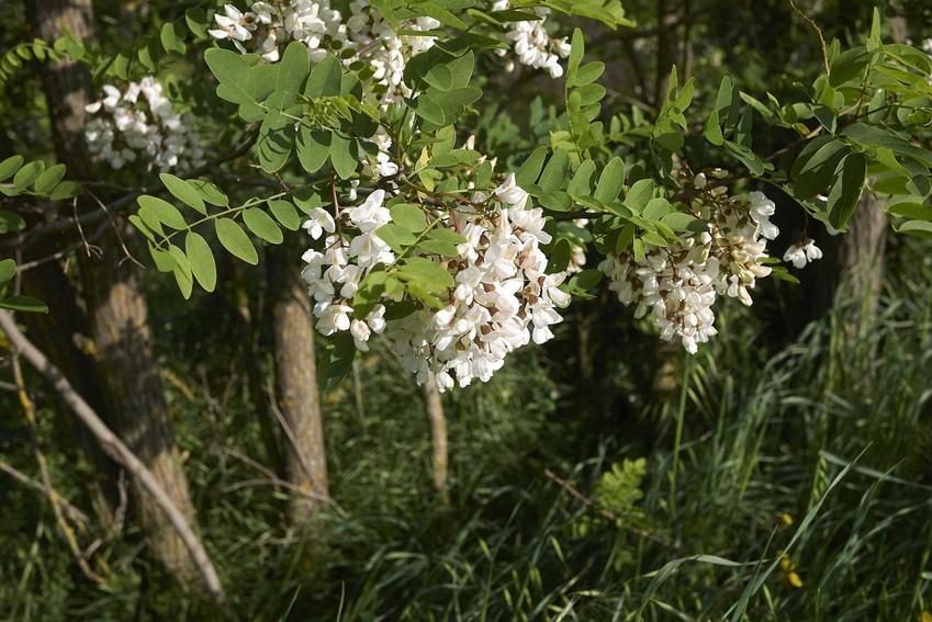 Kwiaty robinii akacjowej, czyli robinia biała w rozkwicie, a także opis gatunku, wymagania, pielęgnacja i sadzenie