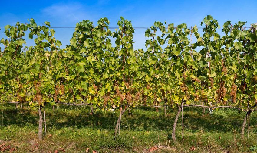 Winorośle z winogronami bezpestkowymi, a także odmiany winogrona bezpestkowe, opis, sadzonki, uprawa